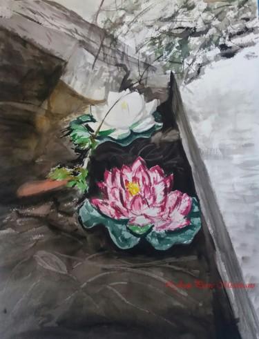 Lotus blanc, Nymphéa rose